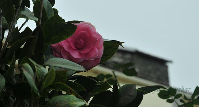 munnar-flower-13